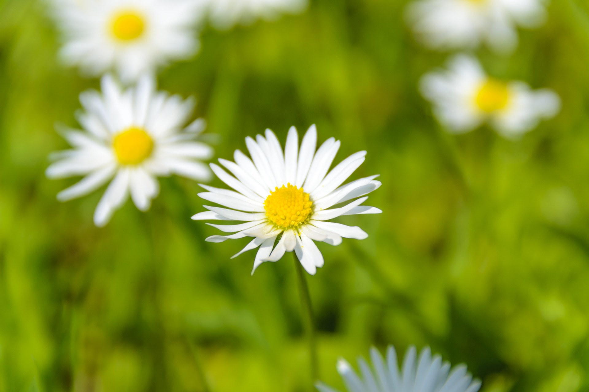 absolutely-wonderful-daisies-1407643_1920