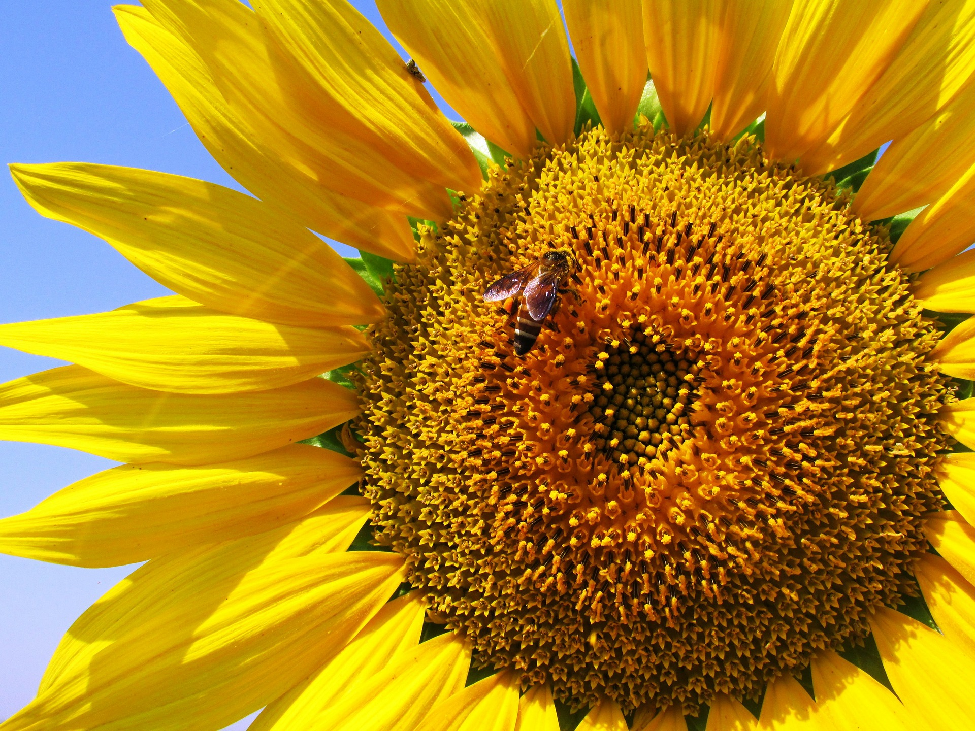 sunflower-268012_1920